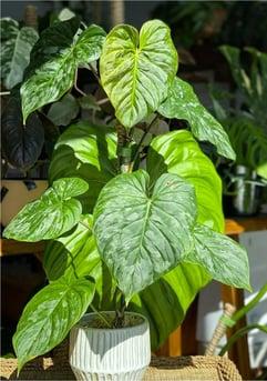 kasey plant